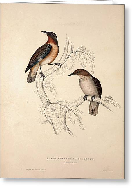 Lamprotornis Spilopterus, Winged Starling. Birds Greeting Card