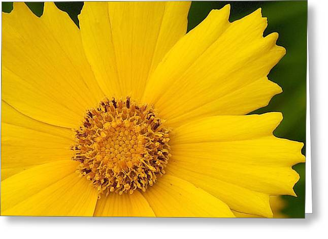 Lance-leaved Coreopsis - Coreopsis Lanceolata Greeting Card by Nature and Wildlife Photography