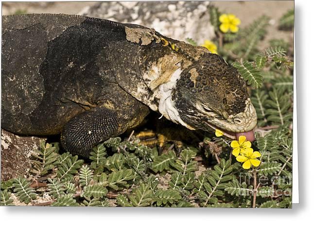 Land Iguana Eating Greeting Card