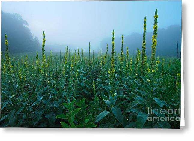 Land Of The Great Mullein - New England Wildflowers Greeting Card by JG Coleman