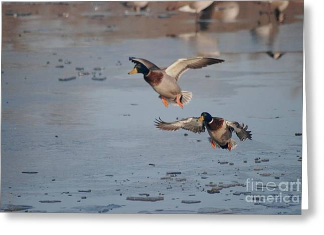 Greeting Card featuring the photograph Landing Mallards by Mark McReynolds