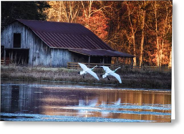 Landing Trumpeter Swans Boxley Mill Pond Greeting Card