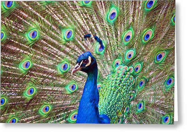 Landscape Peacock Greeting Card