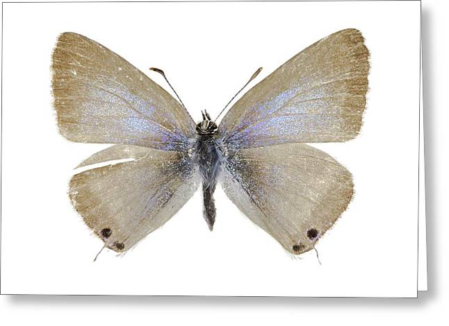 Lang's Short-tailed Blue Butterfly Greeting Card