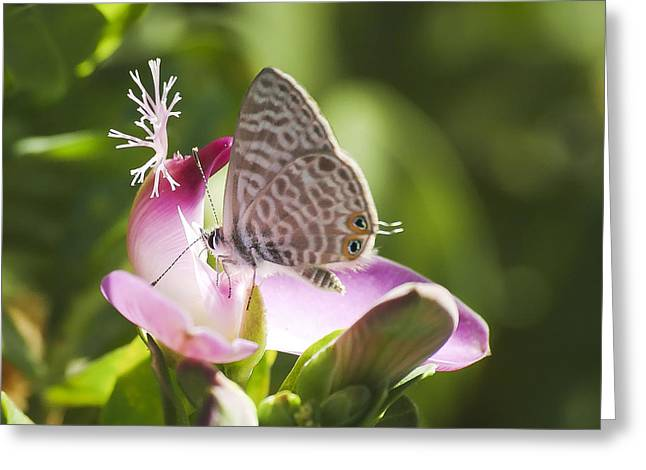 Greeting Card featuring the photograph Lang's Short-tailed Blue II by Meir Ezrachi