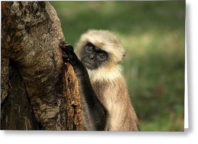 Langur - Hanuman Langur Greeting Card by Ramabhadran Thirupattur