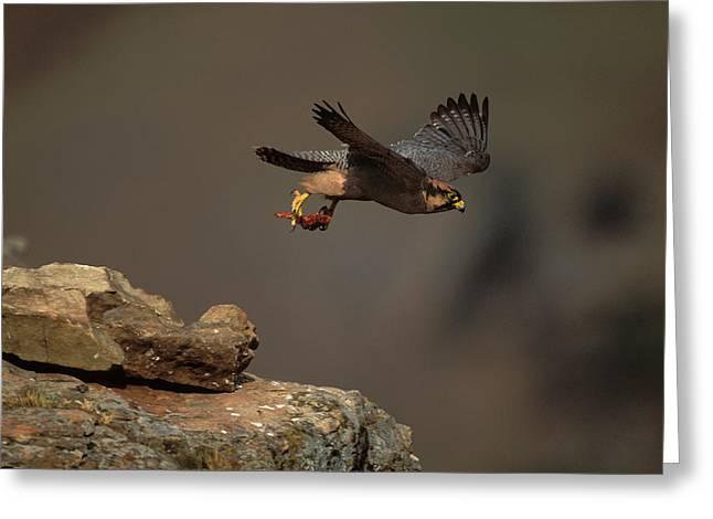 Lanner Falcon In Flight Greeting Card