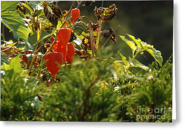 Greeting Card featuring the photograph Lantern Plant by Brenda Brown