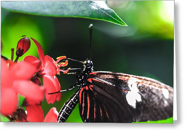 Laparus Doris Butterfly Greeting Card by Optical Playground By MP Ray