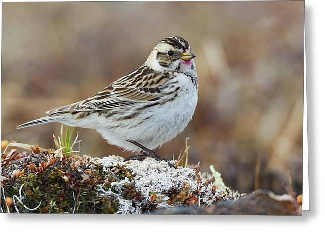 Lapland Longspur (female Greeting Card