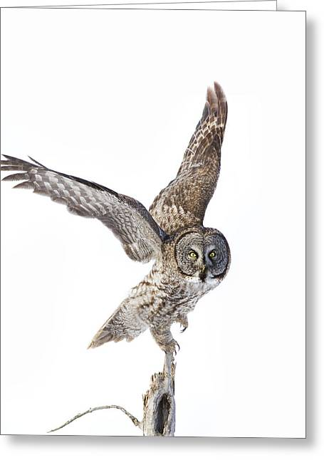 Lapland Owl On White Greeting Card by Mircea Costina Photography