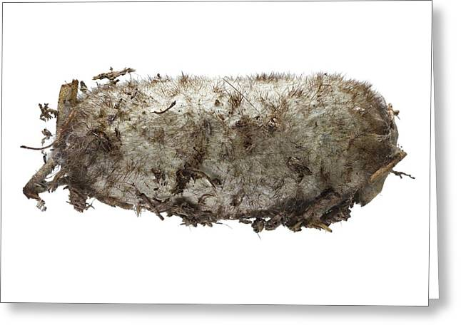 Lappet Moth Pupa Greeting Card