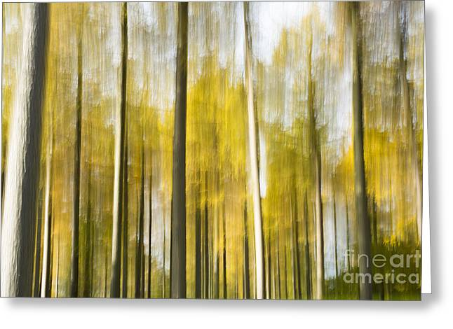 Larch Grove Blurred Greeting Card by Anne Gilbert