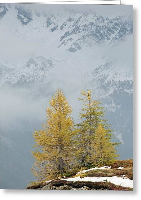 Larch Trees In The Mountains Greeting Card by Bob Gibbons