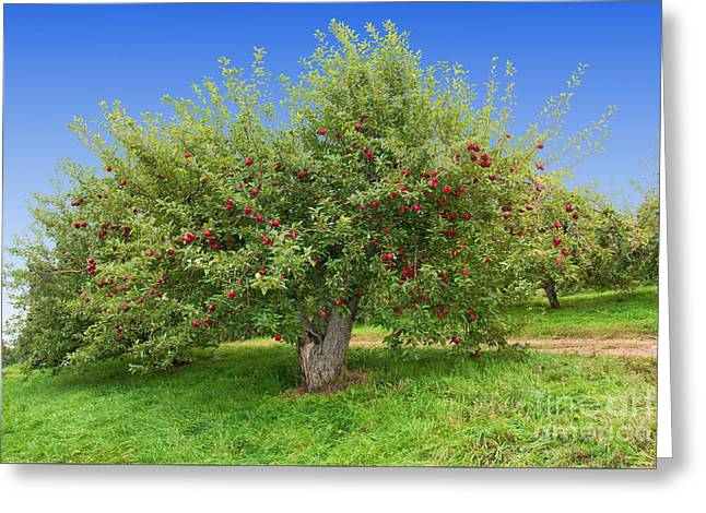 Large Apple Tree Greeting Card by Anthony Sacco