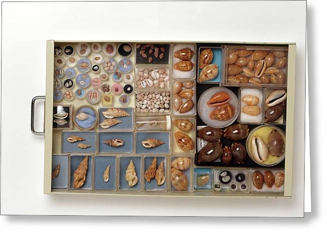 Large Collection Of Shells In Drawer Greeting Card by Dorling Kindersley/uig