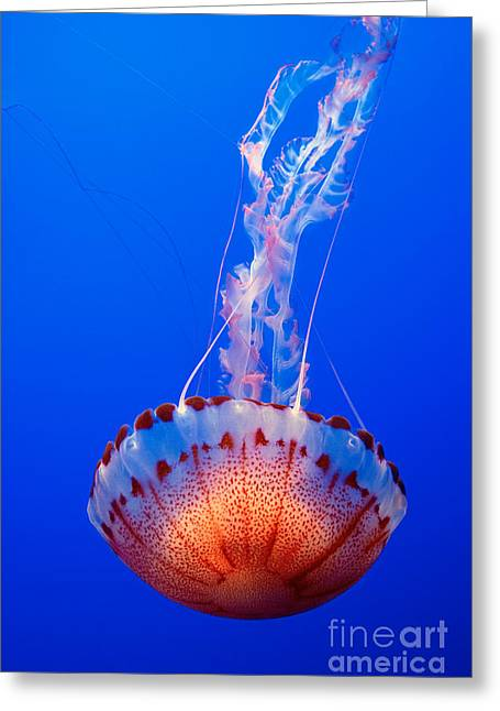 Large Colorful Jellyfish Atlantic Sea Nettle Chrysaora Quinquecirrha  Greeting Card by Jamie Pham
