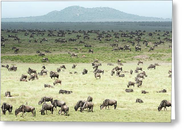 Large Herd Of Wildebeest  Connochaetes Greeting Card
