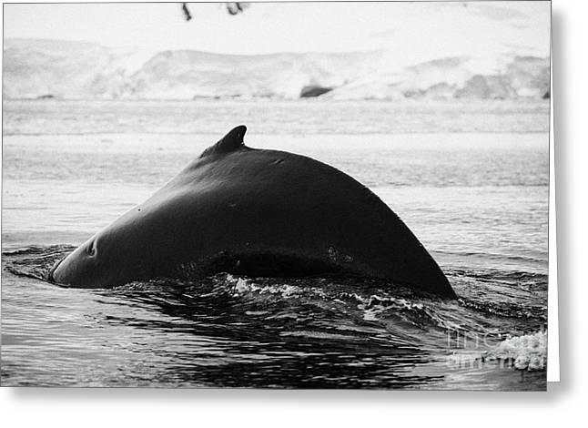 large male Humpback whale with arched back diving in Wilhelmina Bay Antarctica Greeting Card by Joe Fox