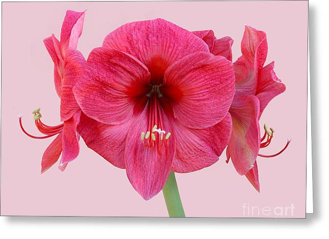 Large Pink Amaryllis With Silky Petals On Pink Greeting Card by Rosemary Calvert