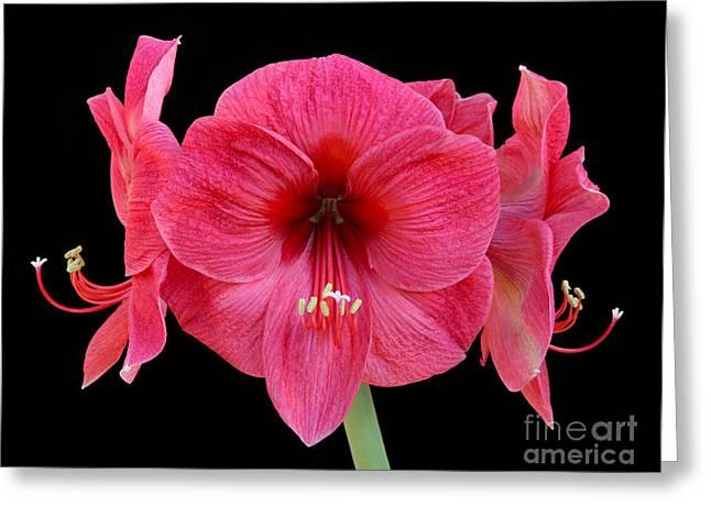 Large Silky Pink Amaryllis Flower On Black Greeting Card by Rosemary Calvert