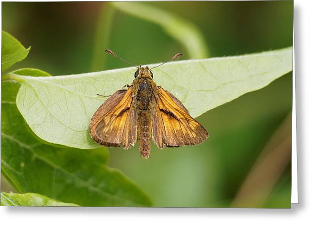 Greeting Card featuring the photograph Large Skipper Butterfly by Paul Gulliver