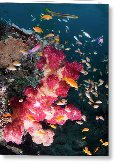 Large Thistle Soft Coral Grows Greeting Card by Panoramic Images