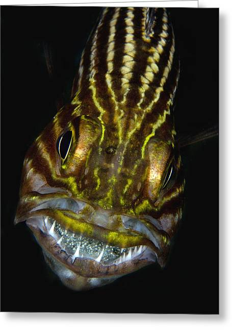 Large-toothed Cardinalfish Brooding Greeting Card