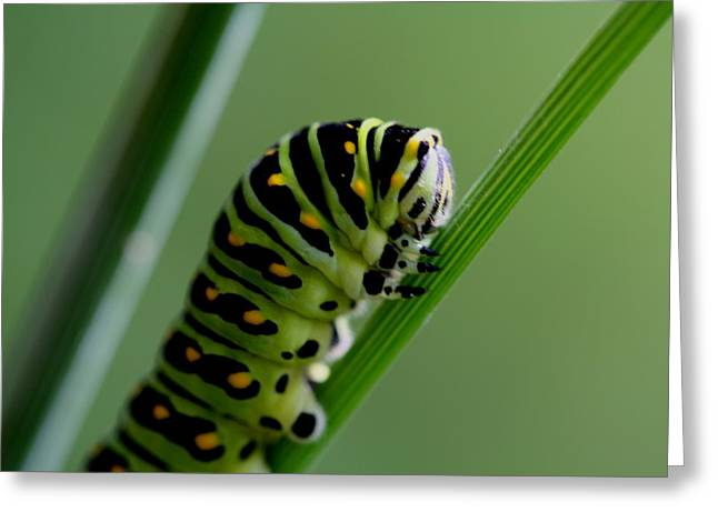 Larva...caterpillar  Greeting Card by Larry Trupp