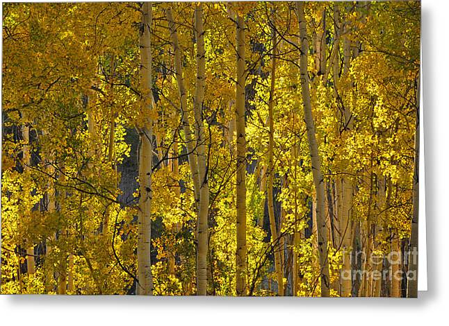 Last Dollar Aspens Greeting Card