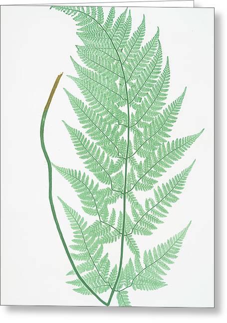 Lastrea Dilatata Glandulosa Greeting Card by Artokoloro