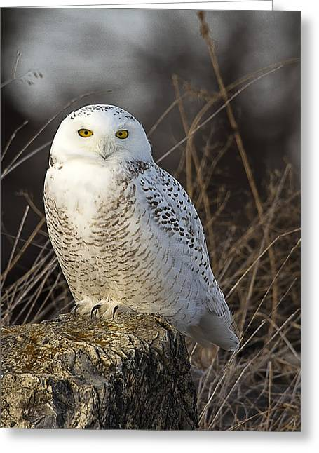 Late Season Snowy Owl Greeting Card