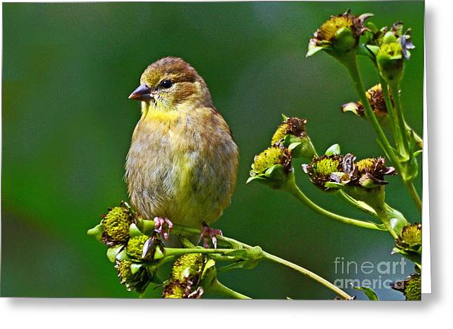 Late Summer Finch Greeting Card