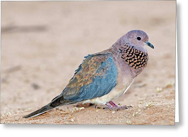 Laughing Dove Calling Greeting Card