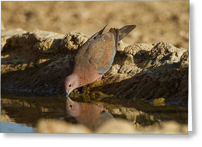 Laughing Dove (spilopelia Senegalensis) Greeting Card