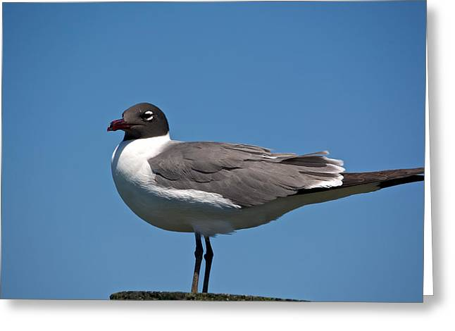 Laughing Gull Greeting Card by Kathi Isserman
