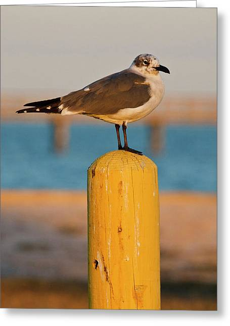 Laughing Gull (larus Atricilla Greeting Card by Larry Ditto