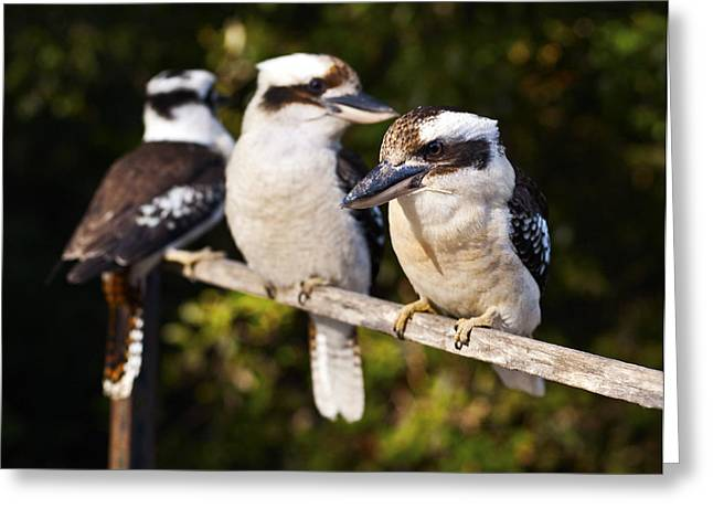 Laughing Kookaburras Greeting Card