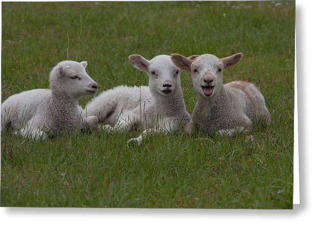Laughing Lamb Greeting Card by Richard Baker