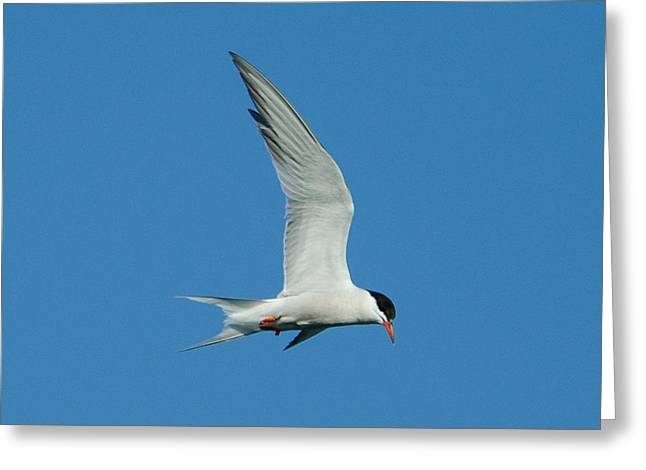 Laughing Tern Greeting Card