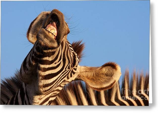 Greeting Card featuring the photograph Laughing Zebra by Nick  Biemans