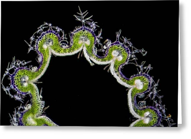 Lavandula Angustifolia Calyx Section Greeting Card by Gerd Guenther