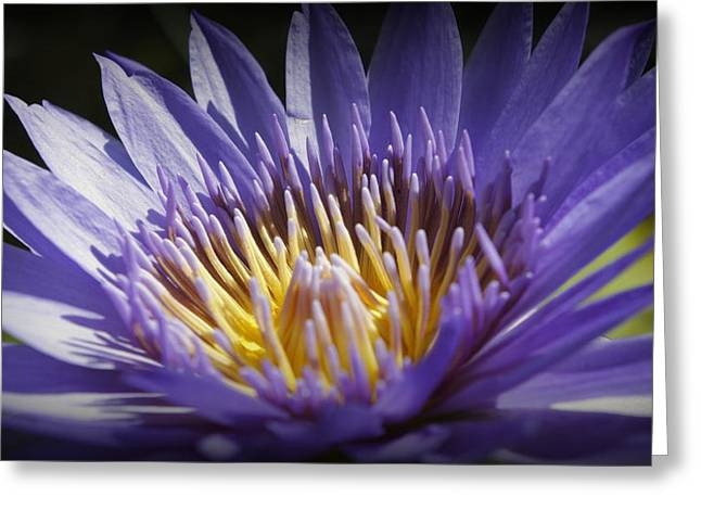 Greeting Card featuring the photograph Lavendar Lily by Laurie Perry
