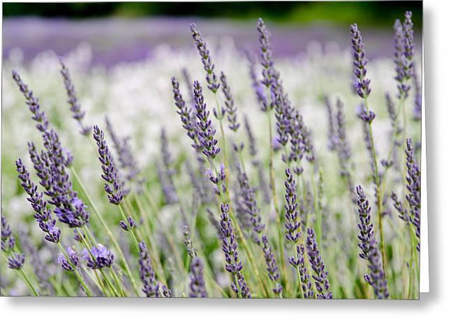 Lavender 2 Greeting Card by Rob Huntley
