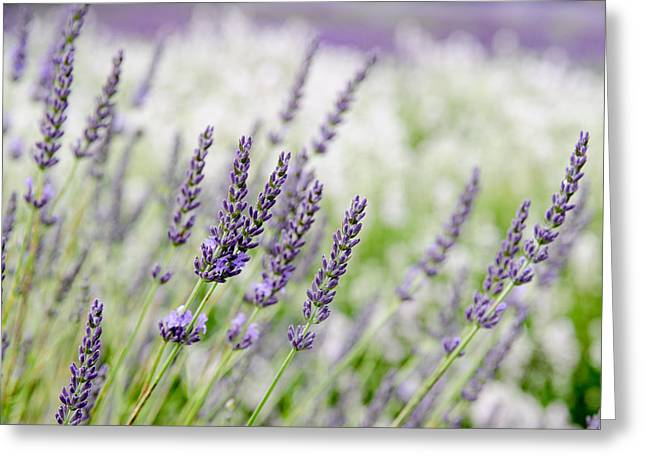 Greeting Card featuring the photograph Lavender 3 by Rob Huntley
