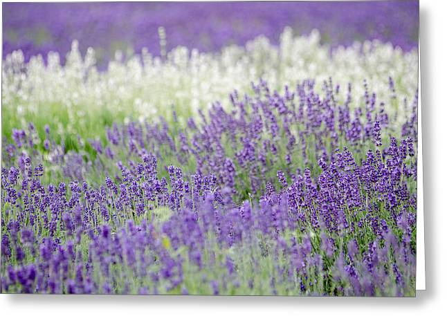 Greeting Card featuring the photograph Lavender 4 by Rob Huntley