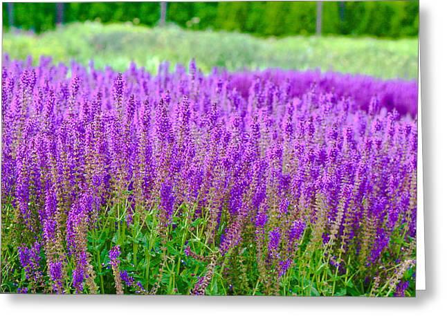Lavender Greeting Card by Allan Millora