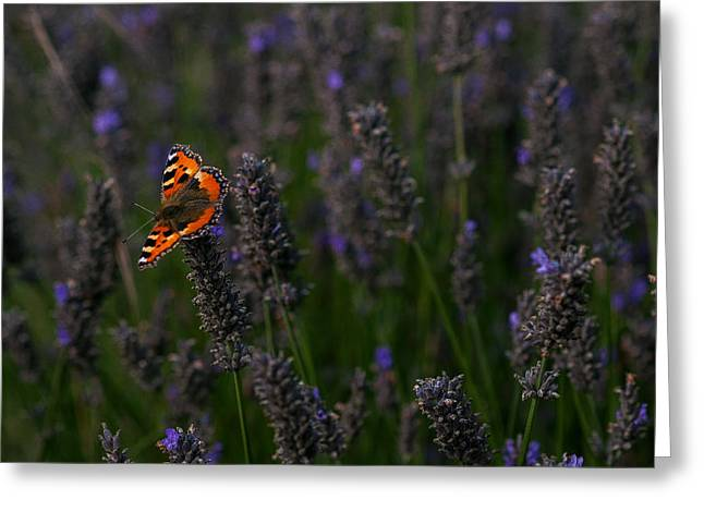 Lavender Butterfly 2 Greeting Card by Gavin Grant