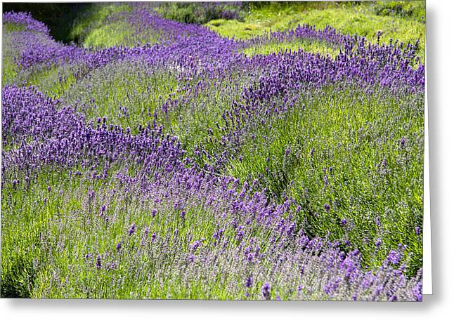 Lavender Day Greeting Card by Kathy Bassett