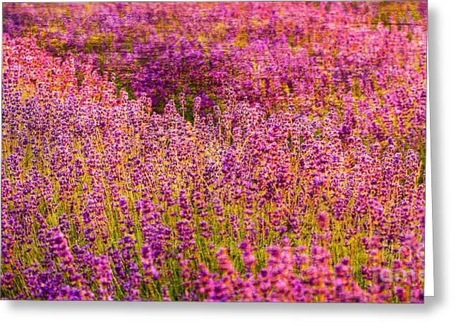 Lavender Fields Greeting Card by Courtney Trusty